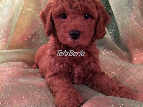 Úžasne vyzerajúce šteniatka pudlíkov, foto 1 Zvieratá, Psy | Tetaberta.sk - bazár, inzercia zadarmo