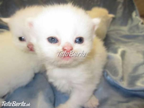 perzské mačiatko na predaj  378b5dd2876