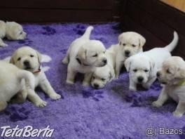 Labrador - šteniatka s preukazom pôvodu s PP , Zvieratá, Psy  | Tetaberta.sk - bazár, inzercia zadarmo