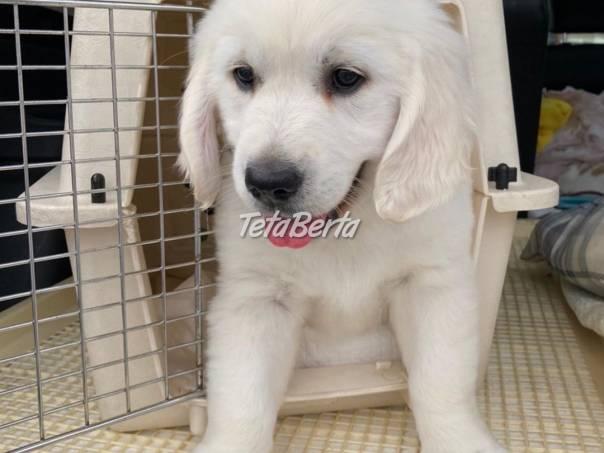 Veľmi priateľské šteniatka zlatého retrievera na adopciu, foto 1 Zvieratá, Psy | Tetaberta.sk - bazár, inzercia zadarmo