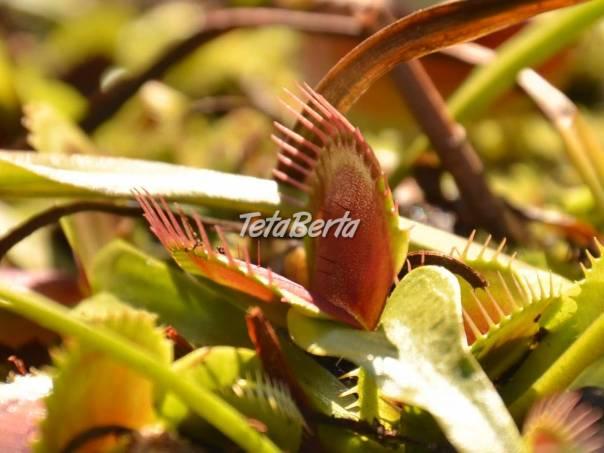 Mäsožravé rastliny, mäsožravky, foto 1 Dom a záhrada, Zo záhradky   Tetaberta.sk - bazár, inzercia zadarmo