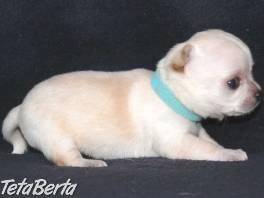 Čivava (Chihuahua)  , Zvieratá, Psy  | Tetaberta.sk - bazár, inzercia zadarmo