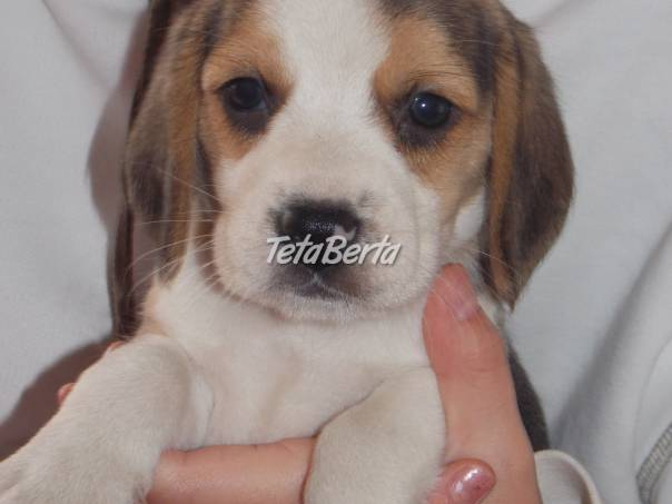 ŠTENIATKA bigl beagle  b574564d756