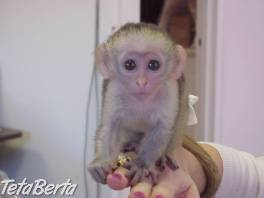 Kapucínske opice na predaj , Zvieratá, Straty a nálezy  | Tetaberta.sk - bazár, inzercia zadarmo