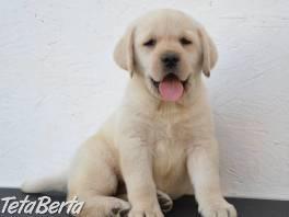 Krásne šteniatka zlatého retrievera , Zvieratá, Psy  | Tetaberta.sk - bazár, inzercia zadarmo