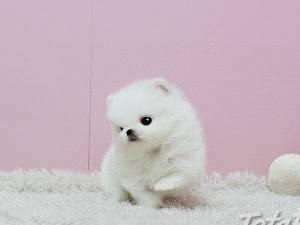 sladké pomoranian šteniatka., foto 1 Zvieratá, Psy | Tetaberta.sk - bazár, inzercia zadarmo