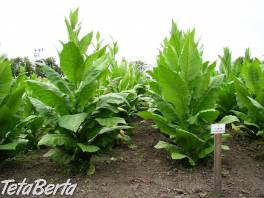Predám tabak , Dom a záhrada, Zo záhradky  | Tetaberta.sk - bazár, inzercia zadarmo