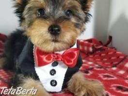 výborné šteniatka jorkšírskeho teriéra , Zvieratá, Psy  | Tetaberta.sk - bazár, inzercia zadarmo