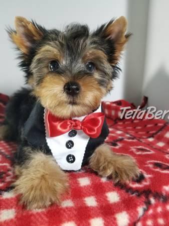 výborné šteniatka jorkšírskeho teriéra, foto 1 Zvieratá, Psy | Tetaberta.sk - bazár, inzercia zadarmo