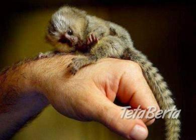 Opice MARMOSET pre adopciu., foto 1 Zvieratá, Ostatné | Tetaberta.sk - bazár, inzercia zadarmo