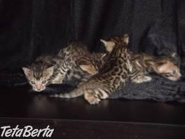 Bengalsky kocurik s PP , Zvieratá, Mačky  | Tetaberta.sk - bazár, inzercia zadarmo