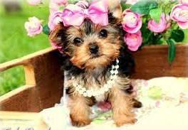 Yorkshire Terrier Mini , Zvieratá, Psy  | Tetaberta.sk - bazár, inzercia zadarmo