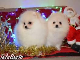 Na predaj nádherné biele šálky šteniatka Pomeranian. , Zvieratá, Psy  | Tetaberta.sk - bazár, inzercia zadarmo