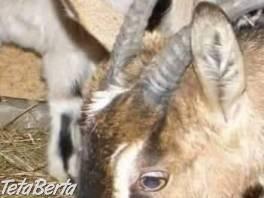 Kozy , Zvieratá, Hospodárske zvieratá  | Tetaberta.sk - bazár, inzercia zadarmo