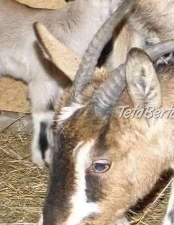 Kozy, foto 1 Zvieratá, Hospodárske zvieratá | Tetaberta.sk - bazár, inzercia zadarmo