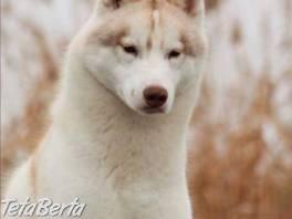 Sibírsky husky šteniatka , Zvieratá, Psy    Tetaberta.sk - bazár, inzercia zadarmo