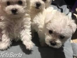 krásne maltézske šteniatka na Vianoce ... , Zvieratá, Psy  | Tetaberta.sk - bazár, inzercia zadarmo