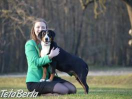 Entlebušský salašnícky pes , Zvieratá, Psy  | Tetaberta.sk - bazár, inzercia zadarmo