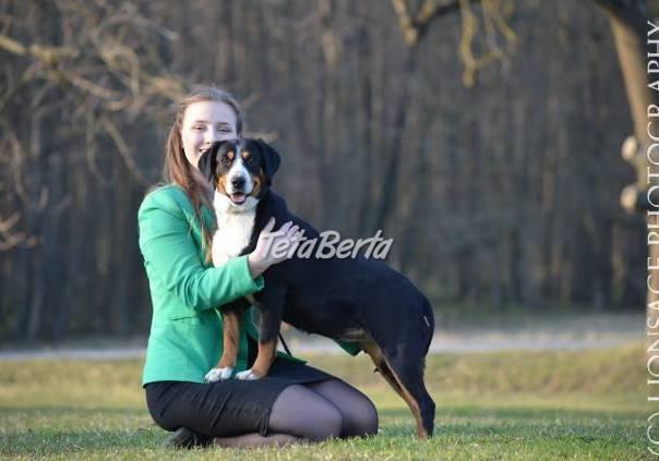 Entlebušský salašnícky pes, foto 1 Zvieratá, Psy | Tetaberta.sk - bazár, inzercia zadarmo