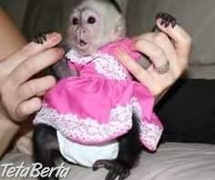 Veľmi zdravé capuchínske opice pre vás.