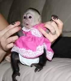 Veľmi zdravé capuchínske opice pre vás., foto 1 Zvieratá, Ostatné | Tetaberta.sk - bazár, inzercia zadarmo