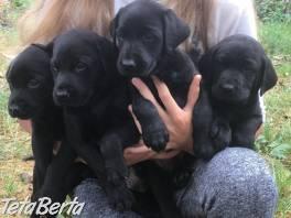 K dispozícii sú šteniatka labradora na predaj , Zvieratá, Psy  | Tetaberta.sk - bazár, inzercia zadarmo