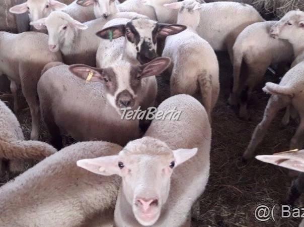 Preedam jahnata BARANCOV AJ JAHNICKY A SUROVE OVCIE MLIEKO, foto 1 Zvieratá, Hospodárske zvieratá | Tetaberta.sk - bazár, inzercia zadarmo