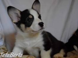 Veľmi krásne šteniatka welsh corgi Pembroke pre rehoming. , Zvieratá, Psy  | Tetaberta.sk - bazár, inzercia zadarmo