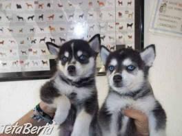 sibírsky husky šteňatá hľadajú nové domovy , Zvieratá, Psy  | Tetaberta.sk - bazár, inzercia zadarmo