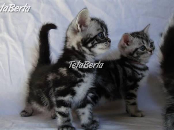 Britská mramorovaná whiskas koťátka s PP f7ff0581667