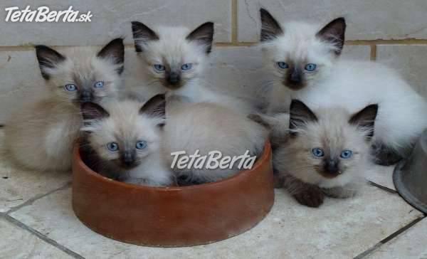 Mačiatka NEVA MASQUERADE - na predaj eeafb85ef83