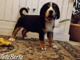 Veľký švajčiarsky salašnícky pes , Zvieratá, Psy    Tetaberta.sk - bazár, inzercia zadarmo