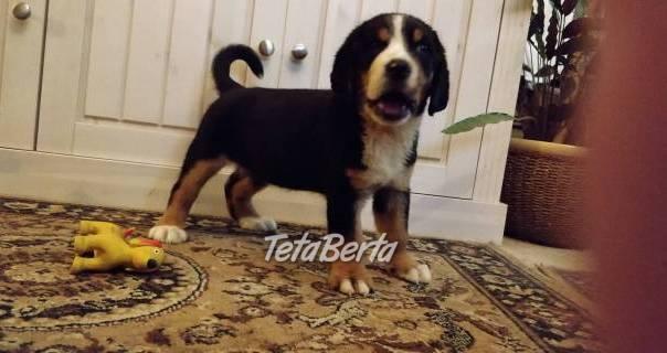 Veľký švajčiarsky salašnícky pes, foto 1 Zvieratá, Psy   Tetaberta.sk - bazár, inzercia zadarmo