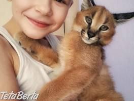 Serval a Savannah, caracal Registrované mačiatka , Zvieratá, Mačky    Tetaberta.sk - bazár, inzercia zadarmo