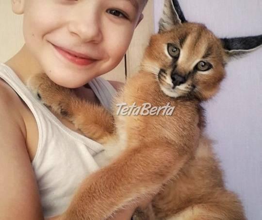 Serval a Savannah, caracal Registrované mačiatka, foto 1 Zvieratá, Mačky | Tetaberta.sk - bazár, inzercia zadarmo