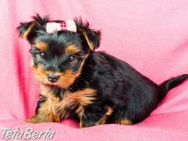jorkšírsky teriér miniatúrne šteniatka , Zvieratá, Psy  | Tetaberta.sk - bazár, inzercia zadarmo