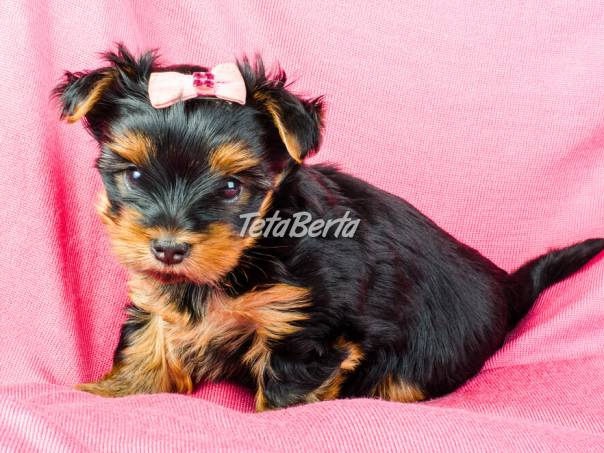 jorkšírsky teriér miniatúrne šteniatka, foto 1 Zvieratá, Psy   Tetaberta.sk - bazár, inzercia zadarmo