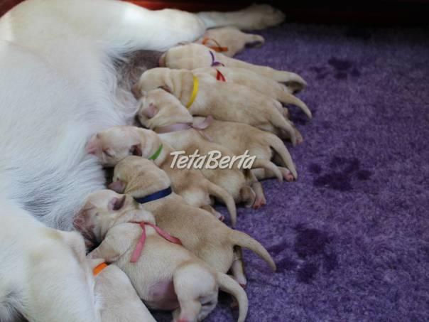 Labrador Retriever - šteniatka s rodokmeňom pôvodu, foto 1 Zvieratá, Psy | Tetaberta.sk - bazár, inzercia zadarmo