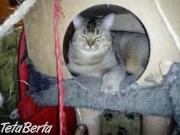 Britský kocúrik s PP  , Zvieratá, Mačky  | Tetaberta.sk - bazár, inzercia zadarmo