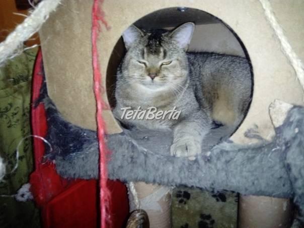 Britský kocúrik s PP , foto 1 Zvieratá, Mačky | Tetaberta.sk - bazár, inzercia zadarmo