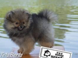 Pomeranian špic šteniatka , Zvieratá, Psy    Tetaberta.sk - bazár, inzercia zadarmo