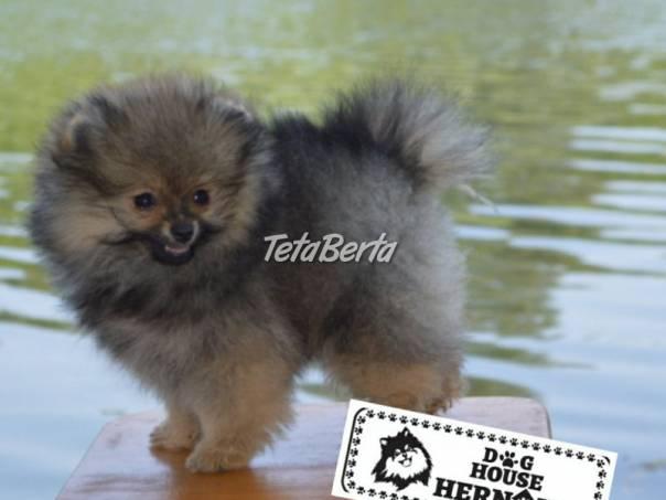 Pomeranian špic šteniatka, foto 1 Zvieratá, Psy | Tetaberta.sk - bazár, inzercia zadarmo