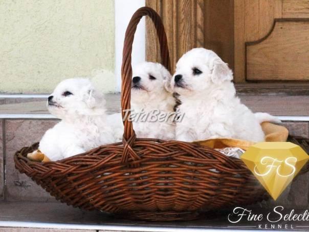 Bichon Frisé štěňata , foto 1 Zvieratá, Psy | Tetaberta.sk - bazár, inzercia zadarmo