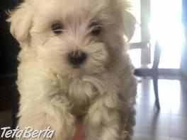 krásne rozkošné maltské šteniatka , Zvieratá, Psy  | Tetaberta.sk - bazár, inzercia zadarmo