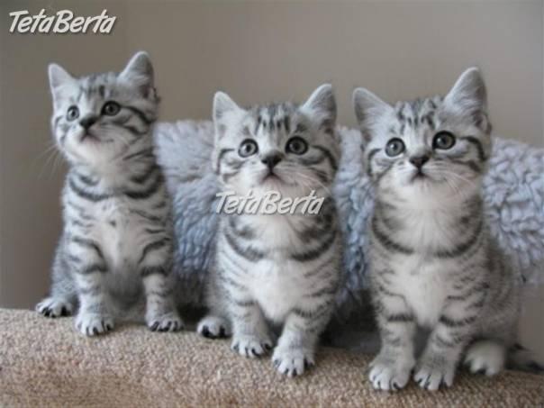 Britská krátkosrstá mačiatka  40ca8114493
