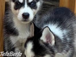 Vynikajúce šteňatá sibírskeho husky na predaj , Zvieratá, Psy  | Tetaberta.sk - bazár, inzercia zadarmo