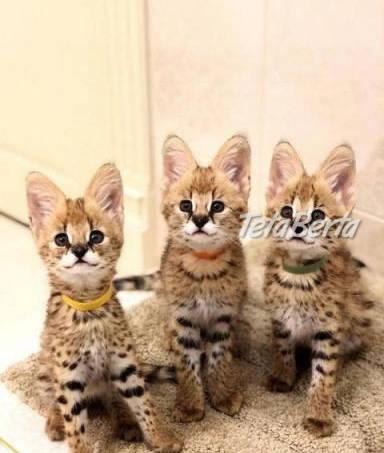 F1 mačiatka Savannah na adopciu., foto 1 Zvieratá, Mačky | Tetaberta.sk - bazár, inzercia zadarmo
