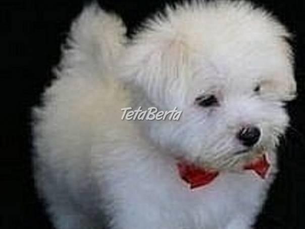 Maltezák psík a fenka., foto 1 Zvieratá, Psy | Tetaberta.sk - bazár, inzercia zadarmo