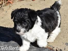 Jackapoo šteňa na predaj , Zvieratá, Psy  | Tetaberta.sk - bazár, inzercia zadarmo