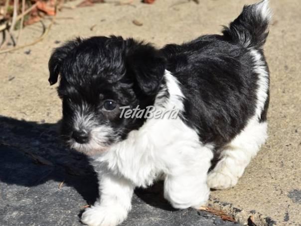 Jackapoo šteňa na predaj, foto 1 Zvieratá, Psy   Tetaberta.sk - bazár, inzercia zadarmo